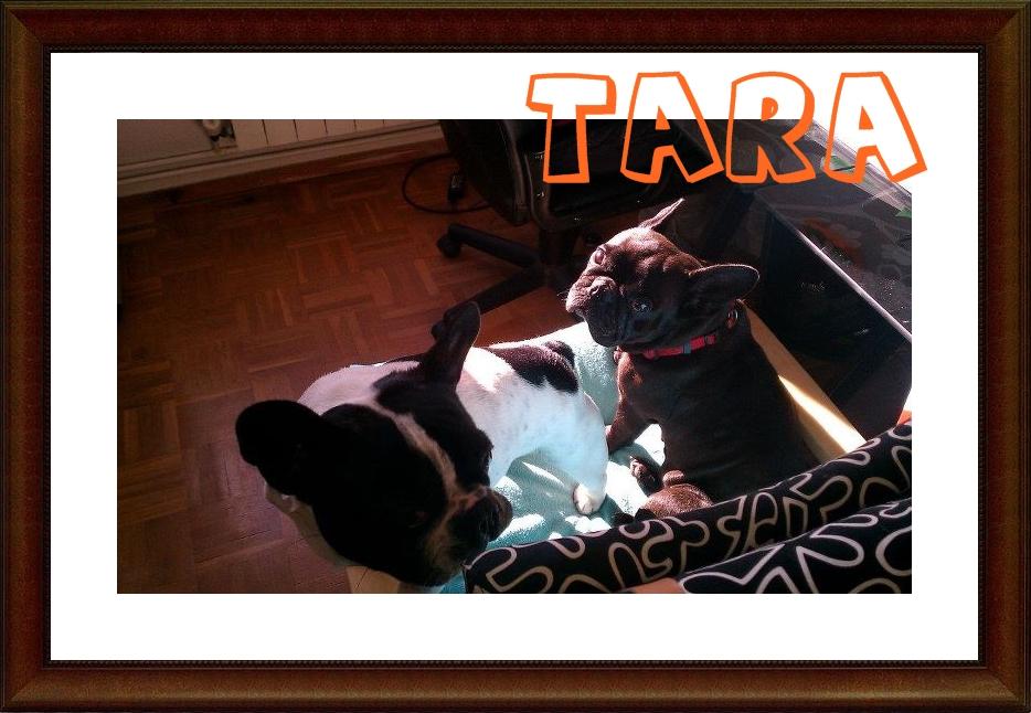 Tara_Adoptada Sos Frenchie