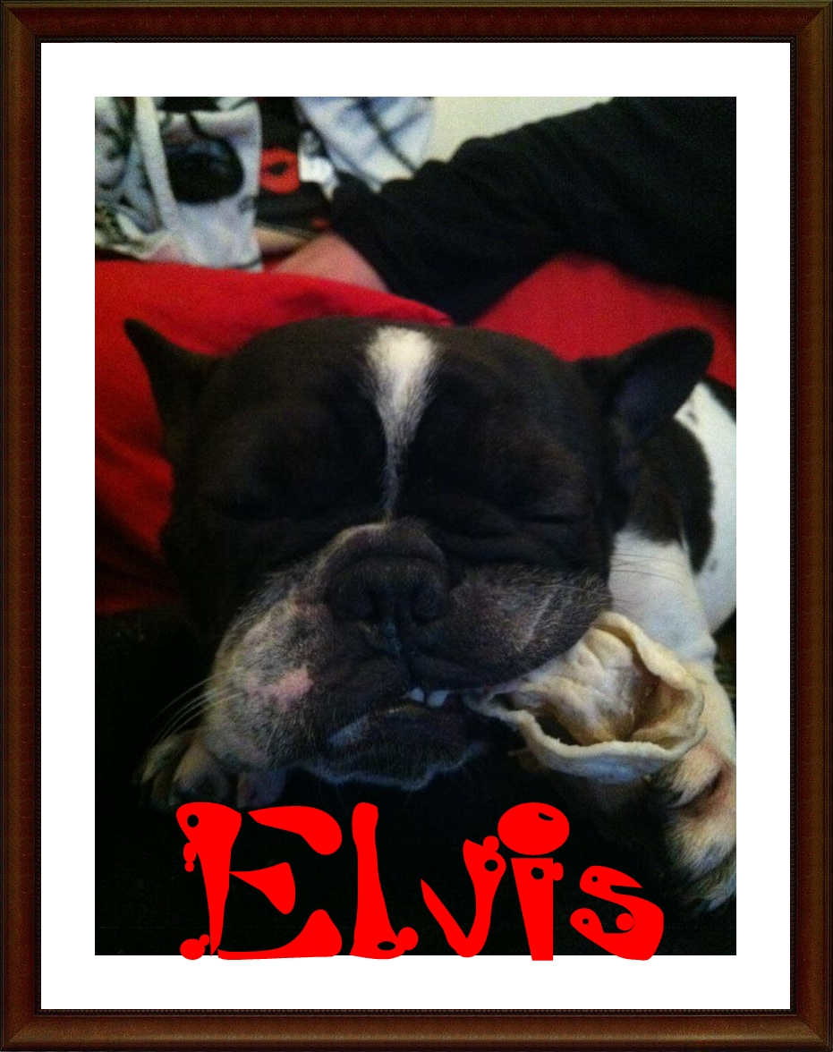 Elvis adoptado en Sos Frenchie
