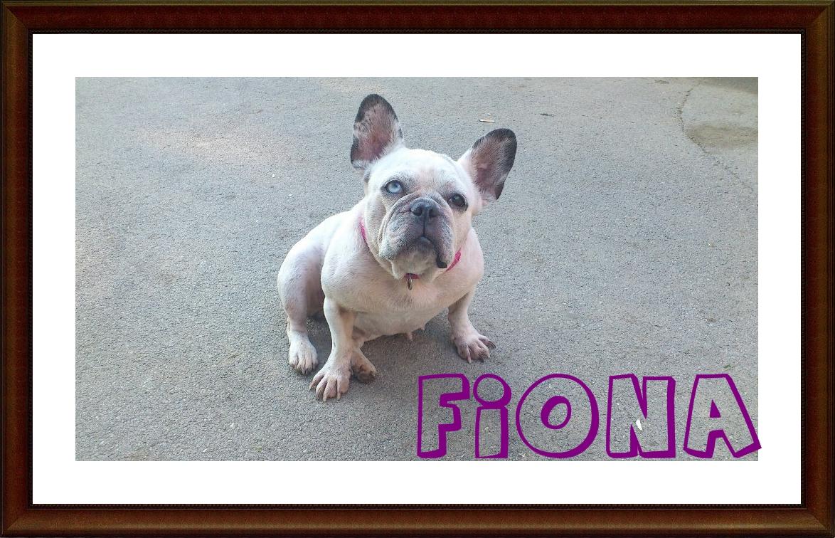 Fiona_adoptada en Sos Frenchie