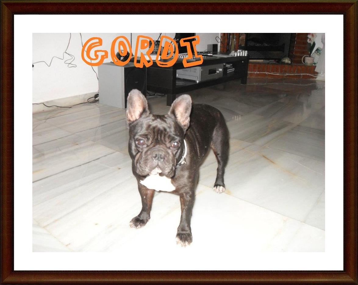 Gordi frenchie adoptada