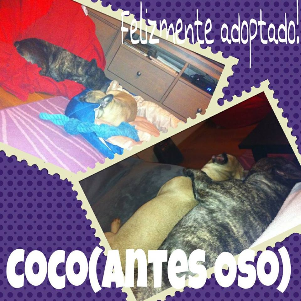 Coco Adoptado Sos Frenchie